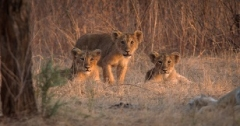 India's Wandering Lions to premiere on Discovery Channel